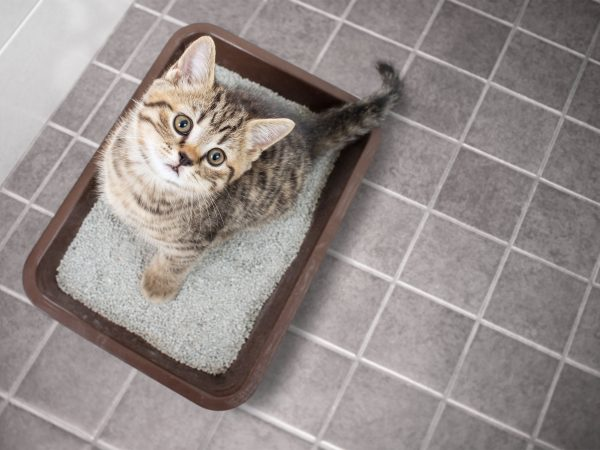 Cat top view sitting in litter box with sand bathroom room