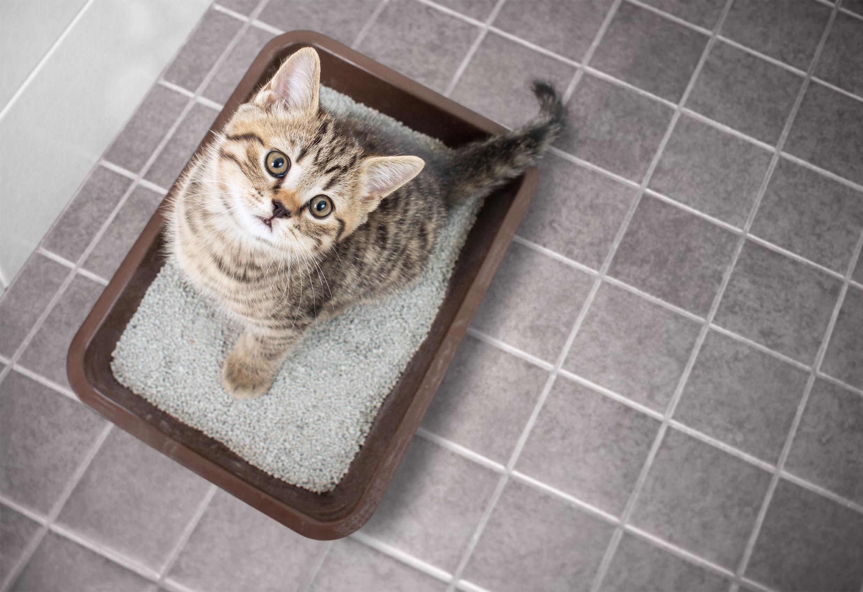 Arena para gatos: ¿Cuál es el mejor del 2020?